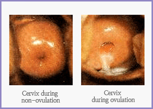 Cervix during Ovulation